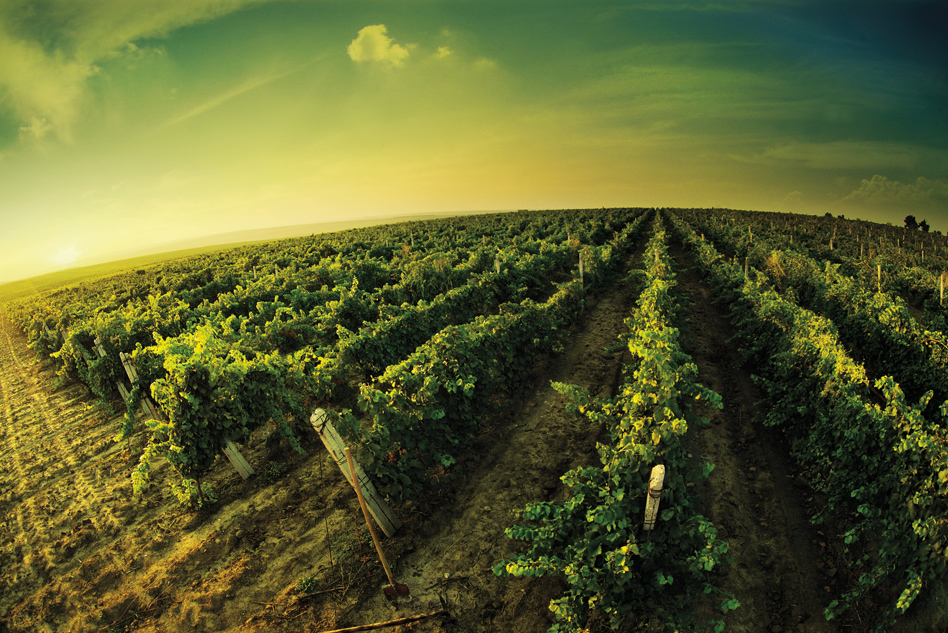 Salento and Apulian wines in general: organolepticity