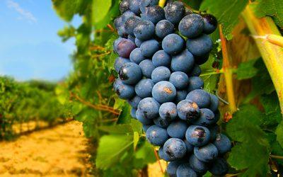 Negroamaro: il famoso vino rosso del Salento