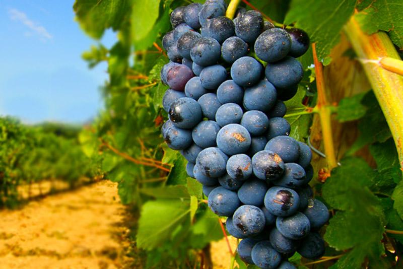 Negroamaro: il famoso vino rosso del Salento - Foodismo
