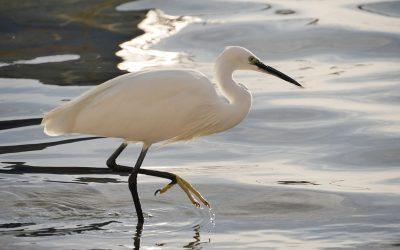 Birdwatching a Porto Cesareo: la Garzetta Bianca